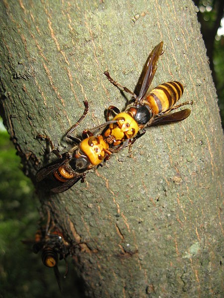 Killer hornets in China sting at least 19 people to death and 600 others have been stung as well.