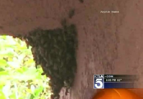 A bee swarm in this same tree kills a Northern Hollywood, Calif. family's beloved dog Babe on Saturday.